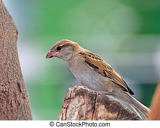 A female House Sparrow waiting on a Neem tree