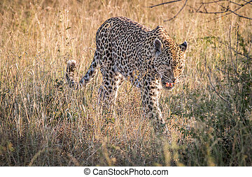 A female Leopard walking in the grass.