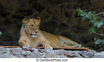 a Female Lio Lies on a Wooden Lounge Near a Stone Wall