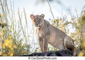A female Lion standing on a ridge.