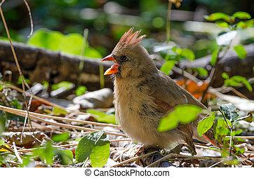 Northern Cardinal (Cardinalis cardinalis) - A female ...