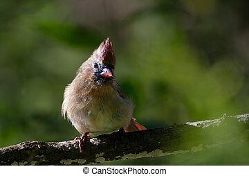A female Northern Cardinal perched on a tree branch - A ...