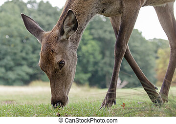 Red Deer - A female Red Deer grazing on the short park...