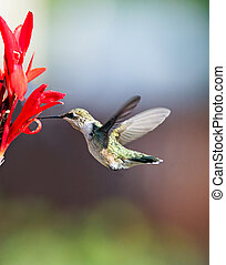 Hummingbird and Cana Lily - A female ruby throated...