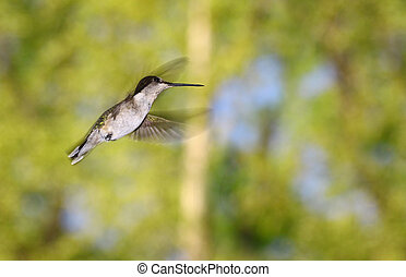 A female ruby throated hummingbird flying throught the air on a spring day outside with room for your text