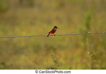 Vermilion flycatcher on a fence