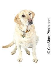 White Labrador