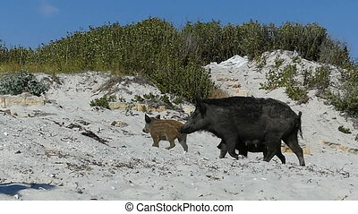 A female wild boar walks with piglets on the sandy seacoast in slo-mo