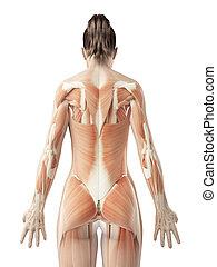 a, femininas, costas, músculos