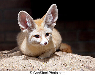 A Fennec enjoying the sun while lying in the sand