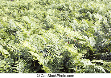 A ferns background picture