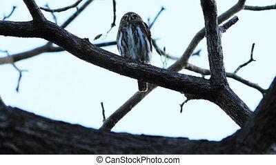 Ferruginous Pygmy Owl, Glaucidium brasilianum, resting in a...