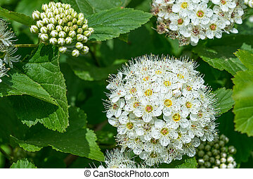 A few bunches of white flowers full-blown and unblown. ...