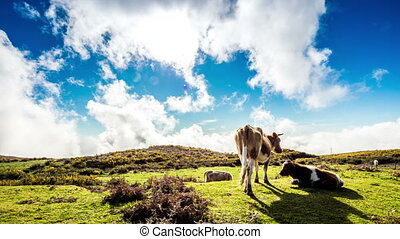 A few cows grazing in high mountains, Madeira
