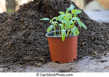 A few pepper seedlings in a single pot -the first leaves - ready for repotting. Concept of growing pepper from seed