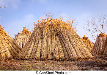 Bundles of tied dry reeds in the rural yard, was packed and ready for further industrial process.