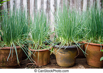 A Few Pots of Home Grown Spring Onion.