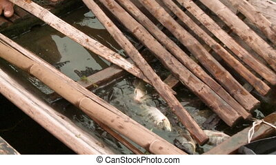 A daylight closeup shot of a few Tilapia fishes swimming in the water inside the hull of a wooden boat traveling in an open lake.