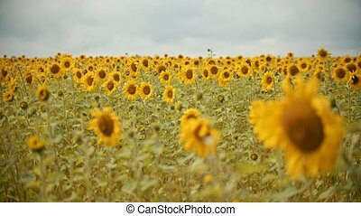 A field full of bright sunflowers in overcast weather. Mid...