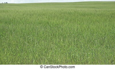 A field of Barley blowing in the wind, in the Cornish ...