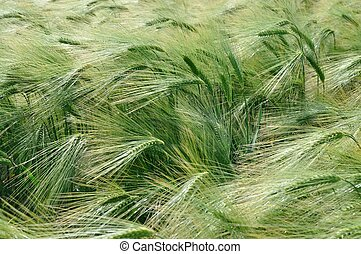 A field of  barley in Brittany