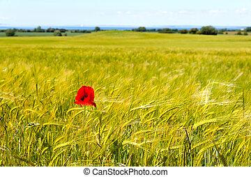 A field of barley in summer