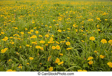 A field of blossoming yellow dandelions