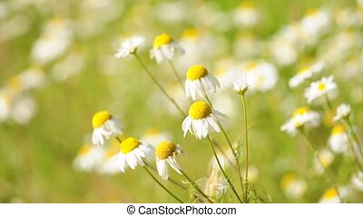 chamomile - a field of chamomile plants