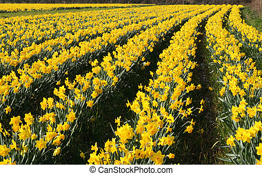A field of daffodils in bloom, Cornwall, UK.