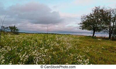 A field of daisies. Field of daisies outside the city....