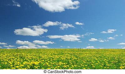 A field of dandelions - Blowball field, summertime,time...