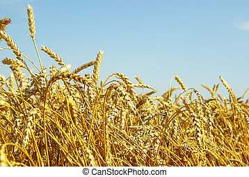 wheat  - A field of golden wheat and blue sky