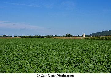 A field of lush green alfalfa.