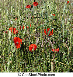 A Field of Poppies in Kent