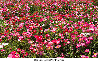 A field of poppies on the entire screen