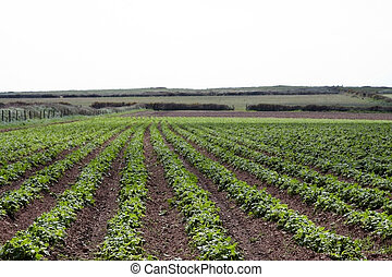 A field of potato crops