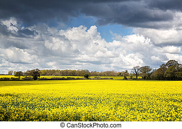 A field of yellow rape or canola flowers, grown for the rapeseed oil crop. Late spring in Micheldever, Hampshire, UK
