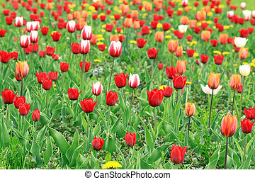 A field of red, pink and white tulips