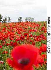 A field of red poppies against cloudy summer sky