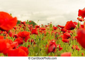 A field of red poppies on cloudy day landscape