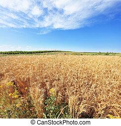 A field of ripe wheat