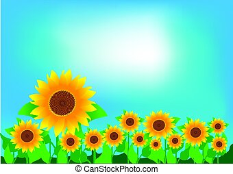 A field of sunflowers and a clear sky. Vector illustration