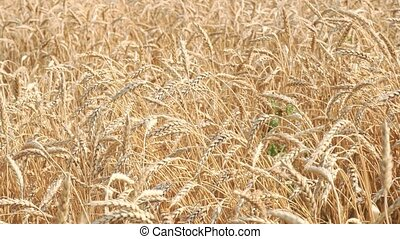a field of wheat. spikelets swaying in the wind