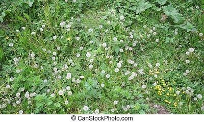 a field of white dandelions shot in flat lay
