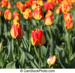 A field of yellow and orange tulips