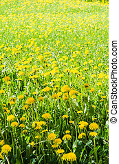 A field of yellow dandelion