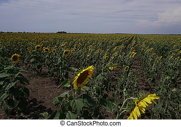 a field of yellow sunflowers and blue sky