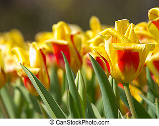 A field of yellow with red tulips