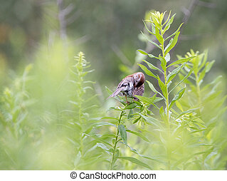Field Sparrow Preening its Feathers
