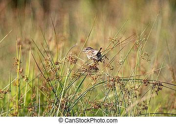 Field Sparrow Sitting on Plants in a Field